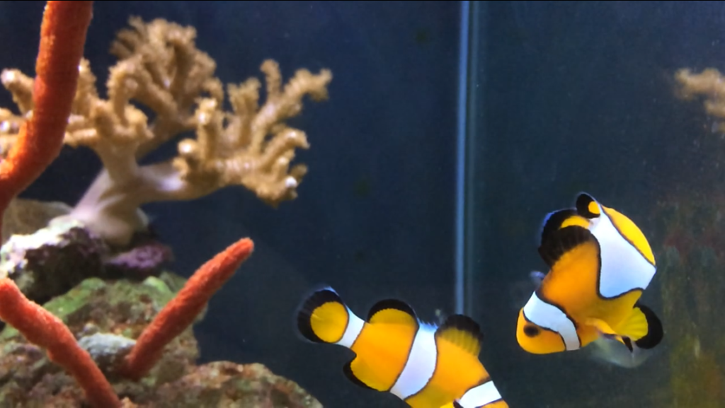 A couple of clownfish shot in slo-mo