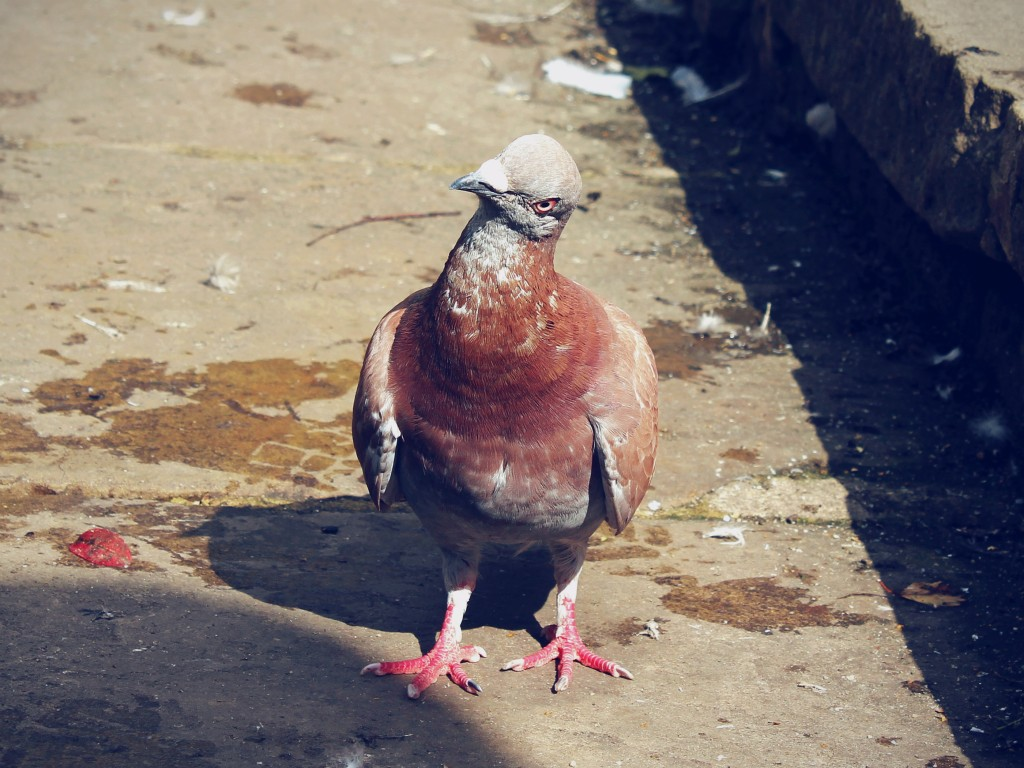 Scary pigeon