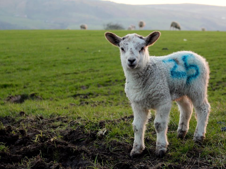 A lamb in a field near home