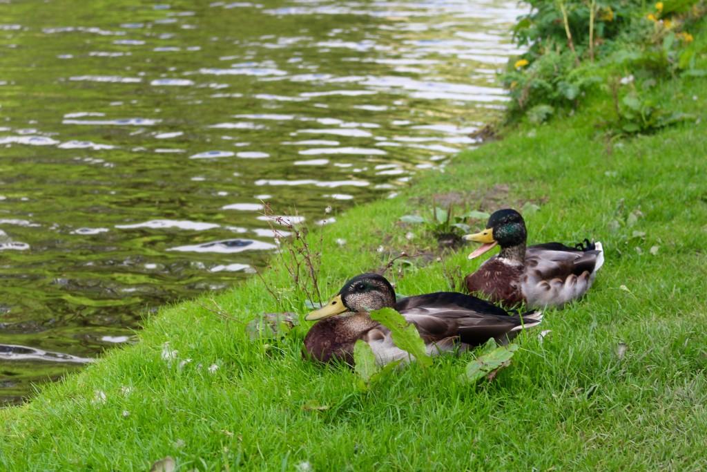 Some noisy ducks