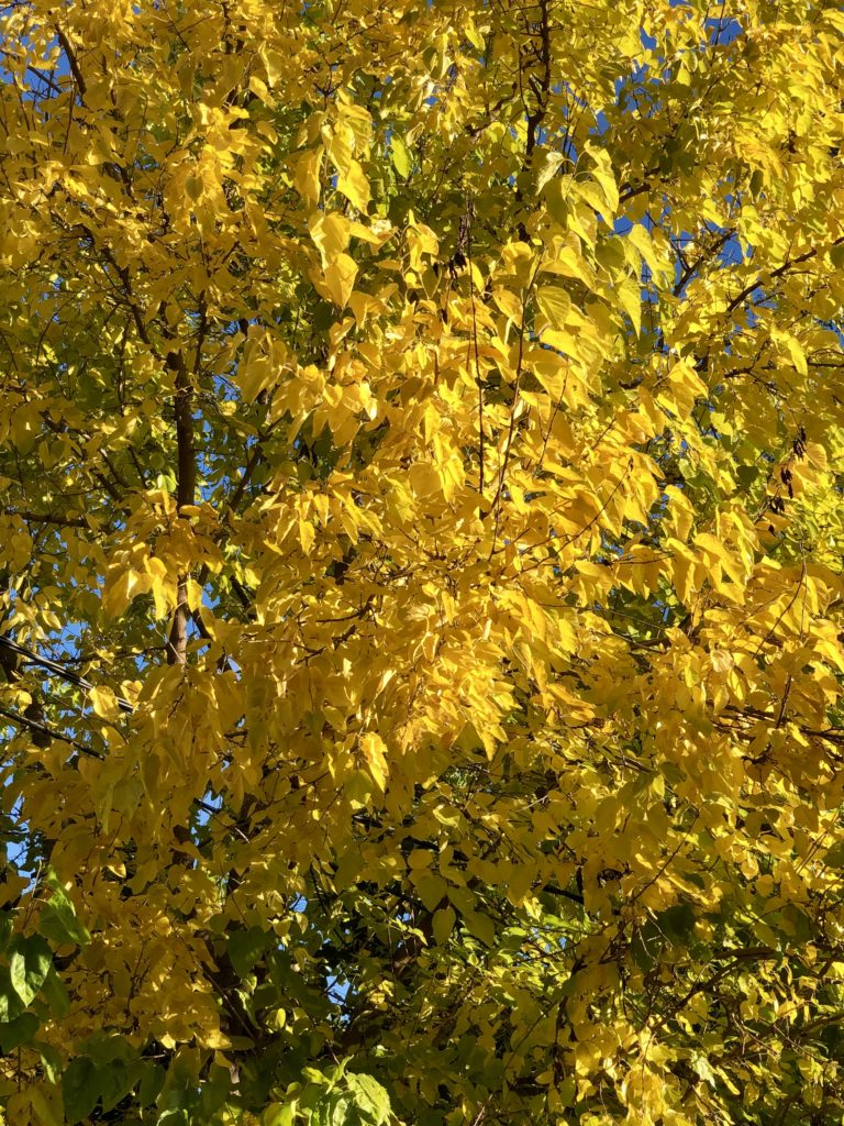 The yellow leaves of the tree.