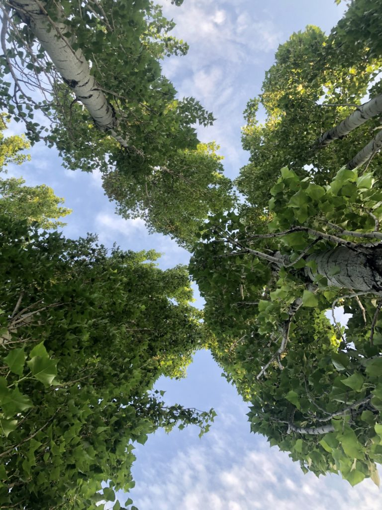 A canopy of trees seen from below.