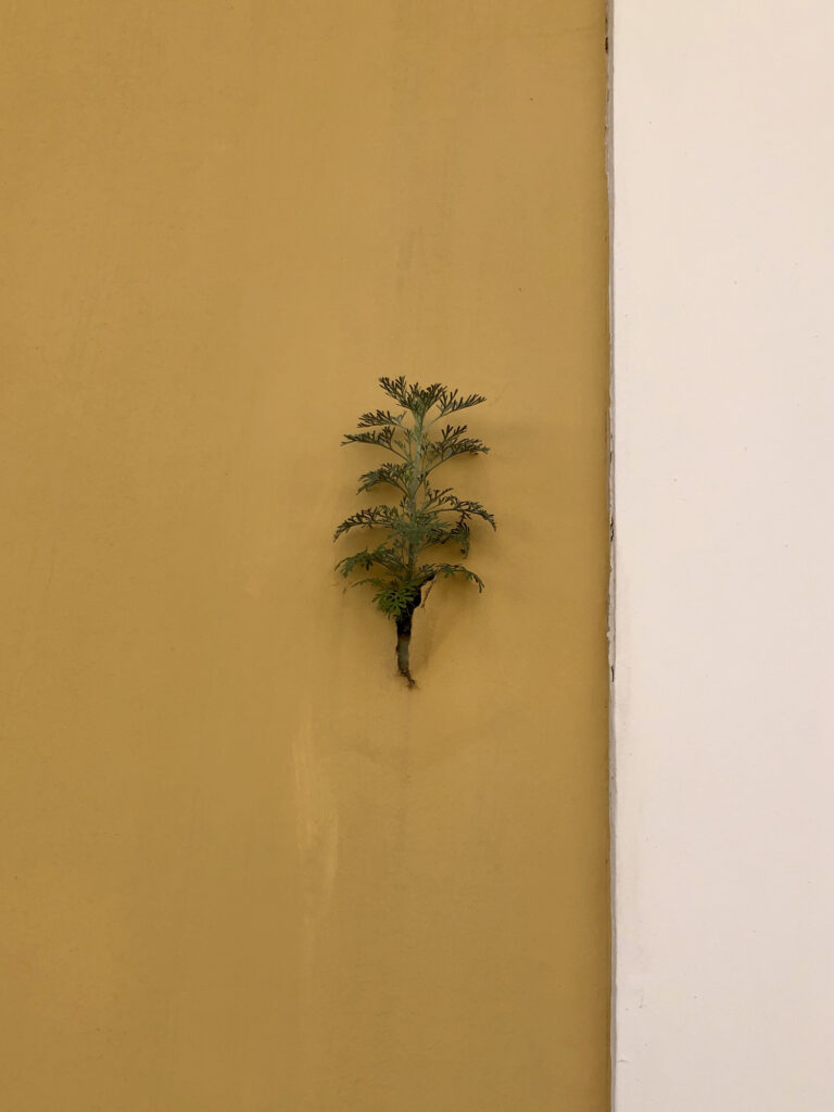 A plant grows out of the crack in a yellow plaster wall.